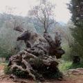 olive groves soller